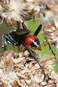 Sphecid Wasp - Prionyx parkeri - female
