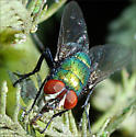 Fly dining on aphids? - Lucilia