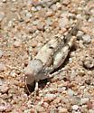 Grasshopper - Cibolacris parviceps