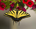 Two-tailed Tiger Swallowtail - Papilio multicaudatus - female