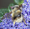 bumblebee - Bombus mixtus