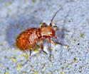 Tiny louse - Lepinotus reticulatus