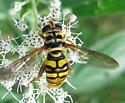 Flower Fly - Milesia virginiensis - female