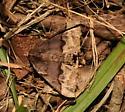 Geometridae, adult - Pero ancetaria