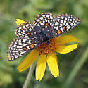 Variable Checkerspot on Arnica - Euphydryas anicia--c