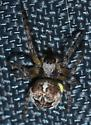 Dark spider with two-tone legs