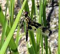 Banded Pennant - Celithemis fasciata - female