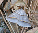 Moth ID Help Requested - Ptichodis herbarum