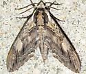 Elm Sphinx - Ceratomia amyntor
