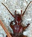 Helluomorphoides clairvillei