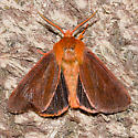 Brown Tiger Moth - Spilosoma pteridis