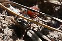Insect - Dasymutilla quadriguttata
