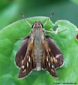 Skipper - Atalopedes campestris - female