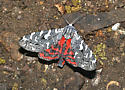 beauty - Arachnis picta