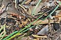 A Mexican Polyergus in Arizona - Polyergus topoffi - female
