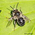 Bee - Anthophora terminalis