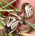 Predatory Stink Bug eating a Burrobrush Leaf Beetle - Perillus bioculatus