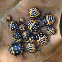 Harlequin Bug nymphs - Murgantia histrionica