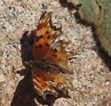 Polygonia sp. - Polygonia oreas
