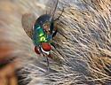 Calliphoridae - Lucilia