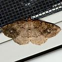 Homochlodes Moth - Homochlodes