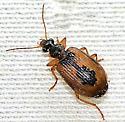 Carabidae ? - Lebia fuscata