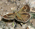 Lace-winged Roadside-Skipper - Amblyscirtes aesculapius