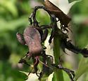 Which big bug, please? - Euthochtha galeator