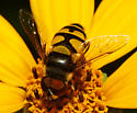 unidentified Syrphidae - Eristalis transversa