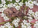 assassin bug – Sinea diadema or spinipes? - Sinea