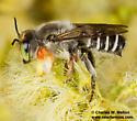 Megachilid - Megachile policaris - male