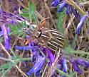 Lined June Beetle (Polyphylla) from Whidbey Island - Polyphylla