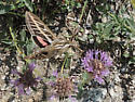 White-lined Moth, Hyles lineata - Hyles lineata