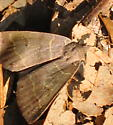 Brown forest moth with reniform spots, sighted late winter - Phoberia atomaris