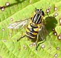 Syrphid Fly - Helophilus fasciatus - female