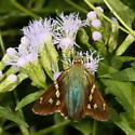 Turquoise Longtail - Urbanus evona