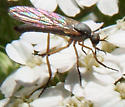 pale blue mosquito sized fly - Empis?