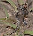 Efferia albibarbis