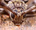 Coleoptera - Graphisurus fasciatus - female