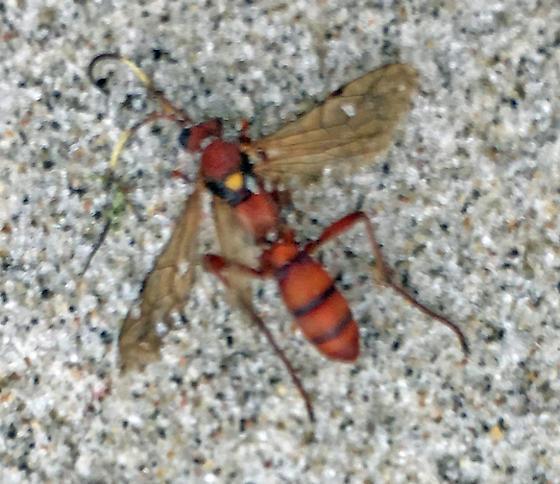 Unidentified Ichneumon - male