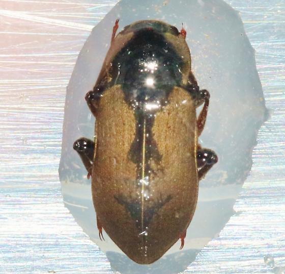 Aquatic beetles - Postelichus
