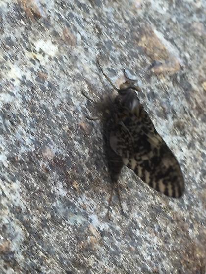 Mayfly -  - Baetisca - female