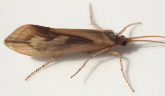 Platycentropus radiatus - male