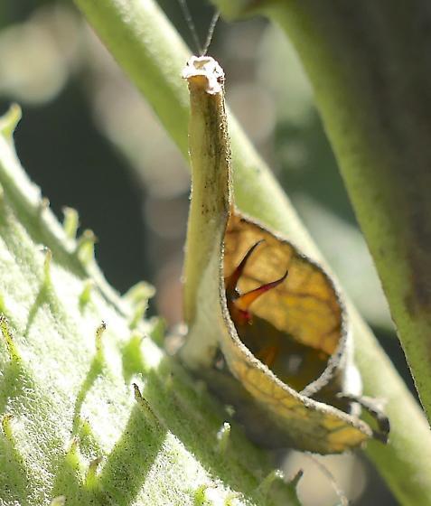 What weird bug please? - Forficula auricularia - female
