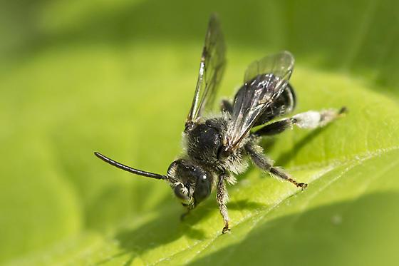 Oil bee - Macropis nuda - male