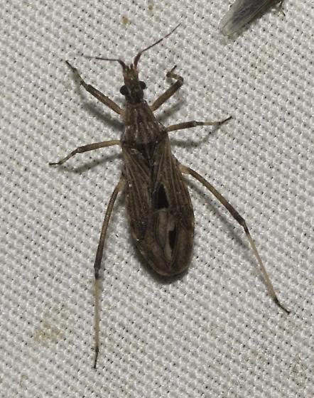 some true bugs from Dirk's place - Diaditus tejanus
