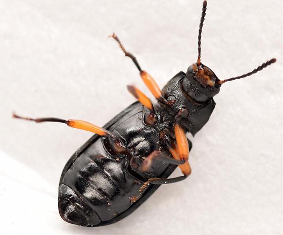 darkling beetle - Haplandrus fulvipes
