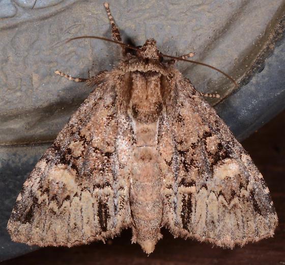 ? - Phosphila turbulenta