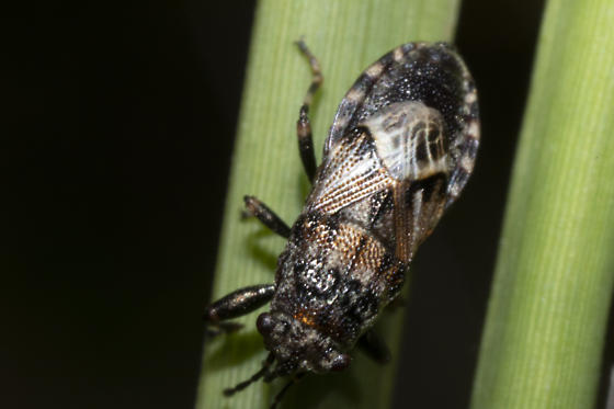 Species ID possible? - Phlegyas abbreviatus