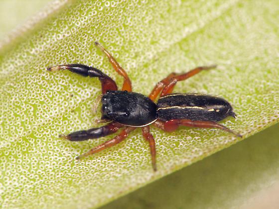Jumper - Metacyrba floridana - female